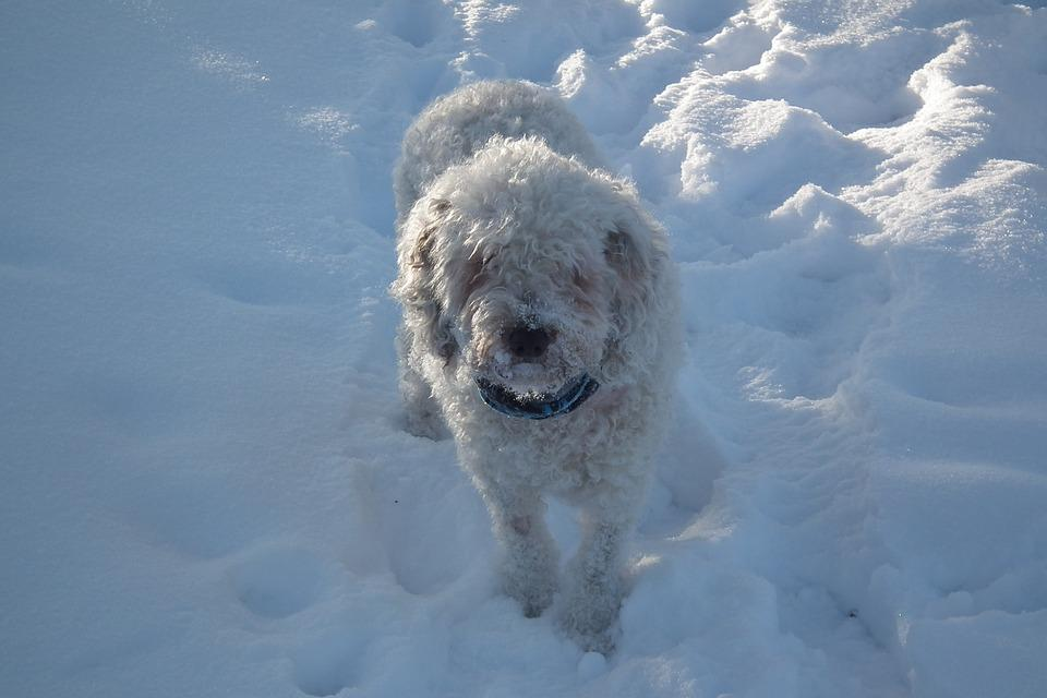 Water Dog, Winter, Spanish,dogs breeds that start with s