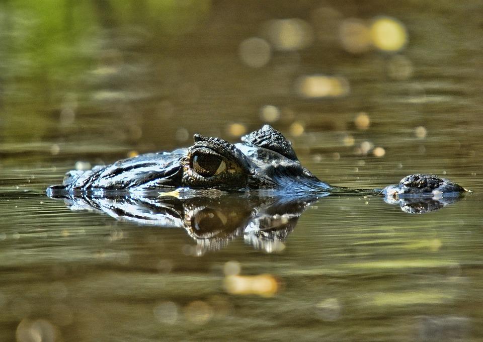 Buaya Orinoco, Spesies Reptil Raksasa yang Terancam Punah