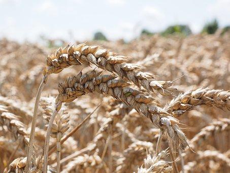 Белгородская область по урожайности зерна - третья в России и первая по урожайности сои
