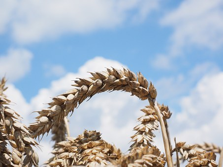 Мировой рынок зерна: соя продолжила рост, а пшеница упала