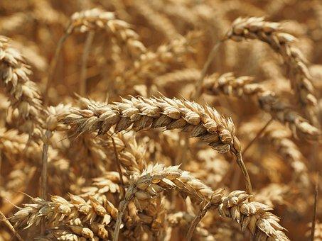 Экспортные цены пшеницы РФ снизились впервые за период с начала сентября