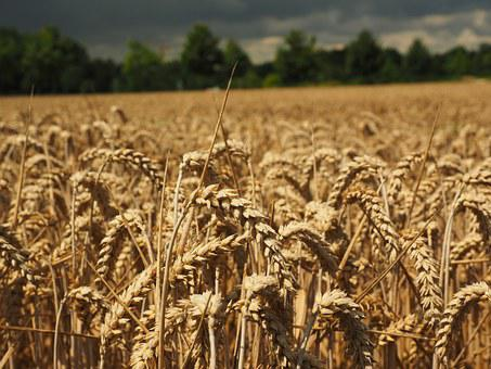 Wheat, Spike, Cereals, Grain, Field