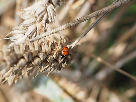 Ladybug, Beetle, Siebenpunkt