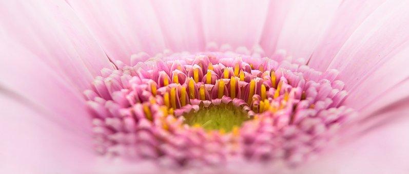 Gerbera, Pano, Flower, Pink, Plant