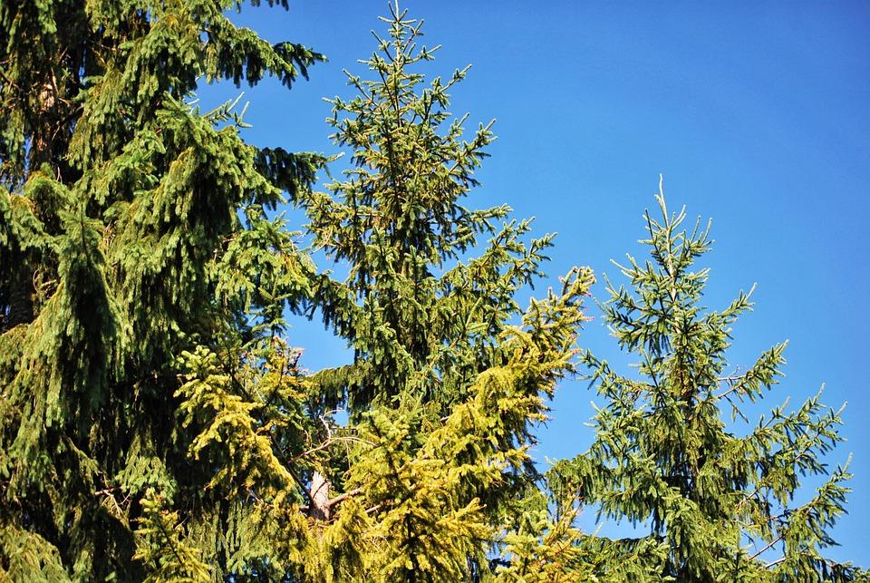 Пихта дерево или кустарник