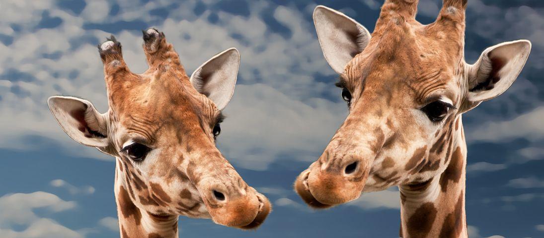 Прикольная картинка жирафа жираф, сон девушки простые