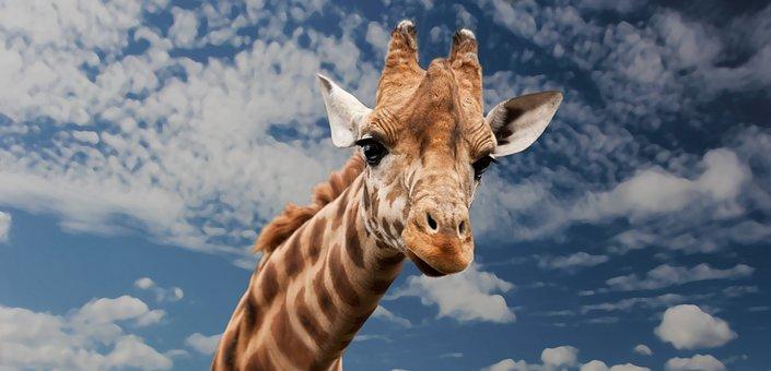 キリン, 動物, 顔の表情, 模倣する, 首, 哺乳動物, クローズ アップ