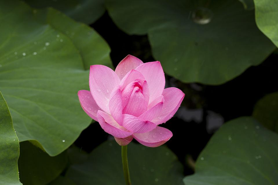 lotus, flower  free images on pixabay, Natural flower