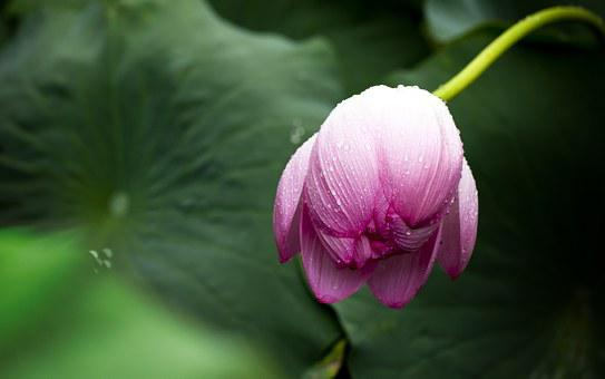 Lotus flower images pixabay download free pictures lotus lotus leaf nature flowers greenness mightylinksfo