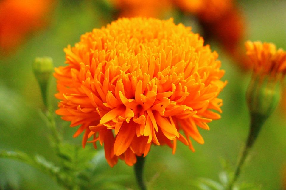 Photo gratuite fleur nature fleurs orange image gratuite sur pixabay 615113 - Initiatives fleurs et nature ...