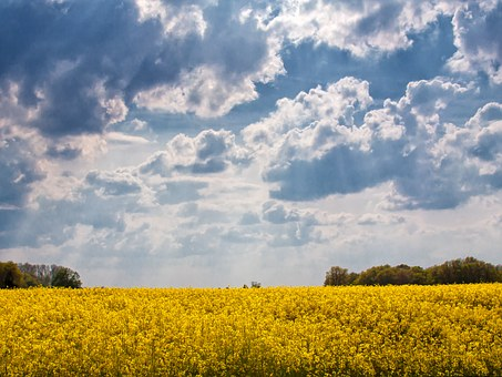 Field Of Rapeseeds, Sky, Yellow, Blue