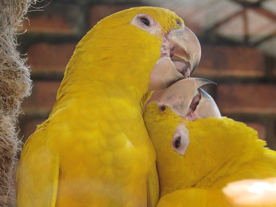 yellow birds courtship animal free photo on pixabay