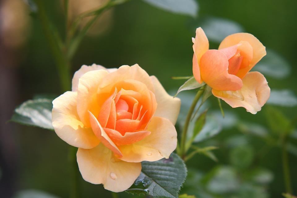Rozen, Oranje Rozen, Bloemen, Bloemblaadjes