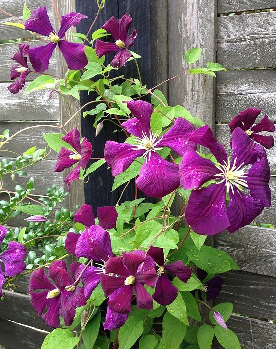 Kwiaty, Mieć, Lato, Pnącza, Roślina, Naturalne, Różowy