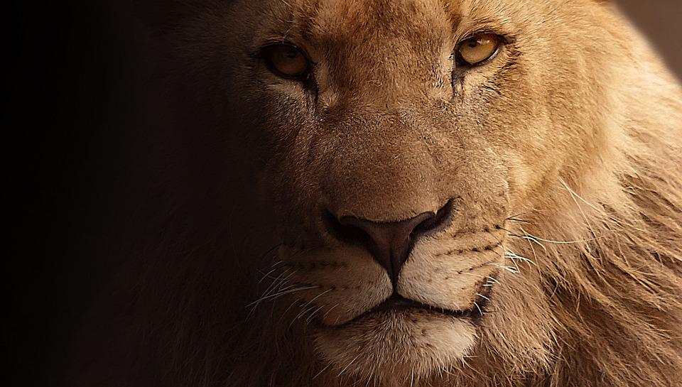 lion free images on pixabay