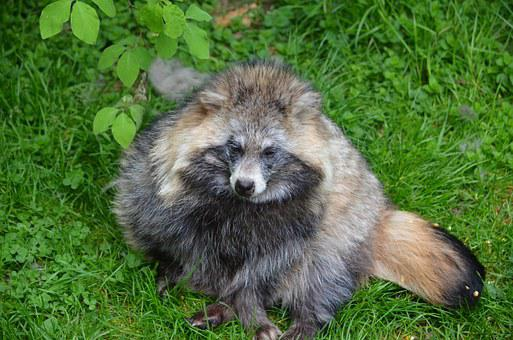 Raccoon, Animal, Furry, Zoo, Nature