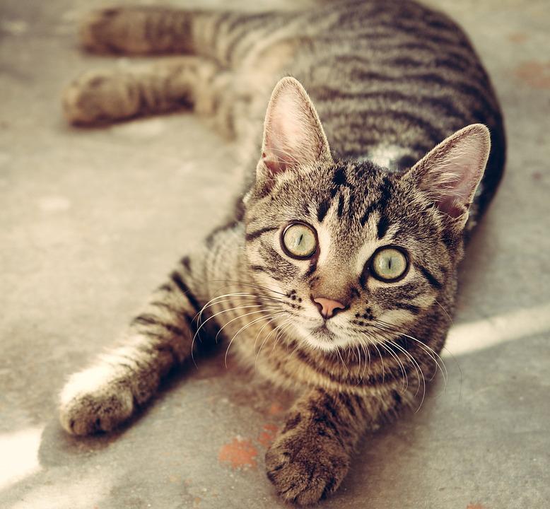 Cat, Tabby, Surprised, Cat'S Eyes, Gray Tabby