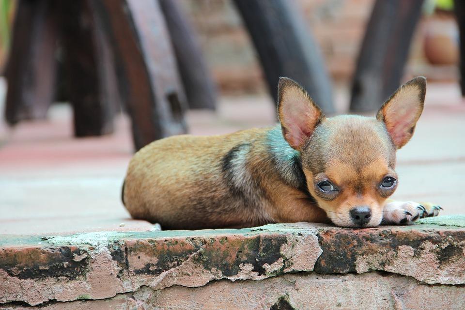Chihuahua, Perro, Mascota, Raza, Cachorro, Animales