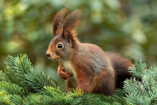 Squirrel, Attention, Ears, Cute, Garden