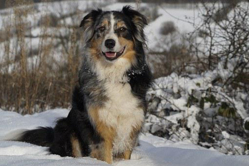Australian Shepherd, Dog, Pet
