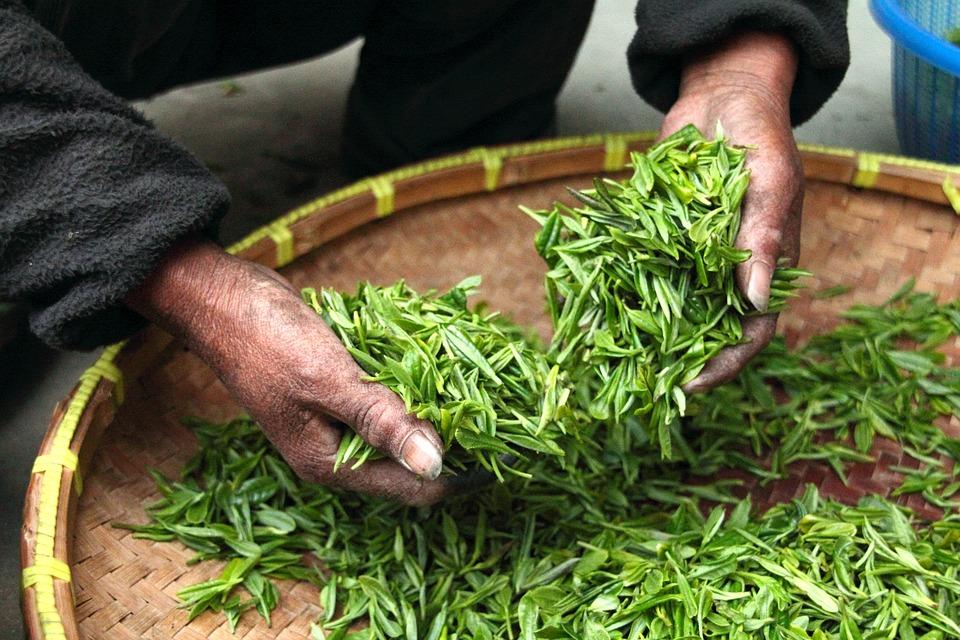 茶, 手, 新鲜, 绿色, 叶子, 干燥, 收获