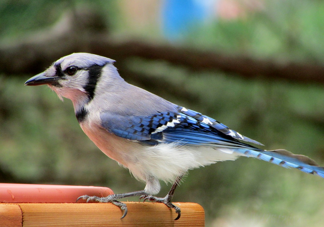 Ancient Music Kate Corwen s Homepage Photos of blue jays birds