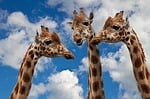 giraffes, entertainment, discussion