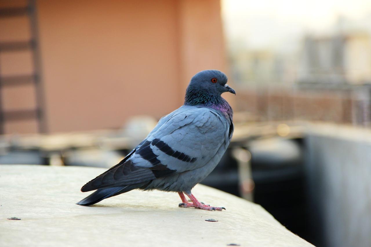 Голубь картинка птицы