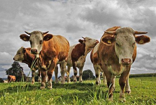 Новосибирская область будет развивать мясное скотоводство