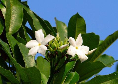 Flower, White, Sea Mango