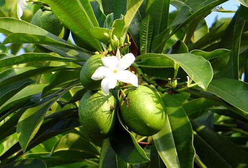 Flower, White, Sea Mango, Fruit