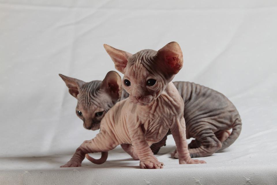 Free Photo: Cats, Sphinx, Kittens