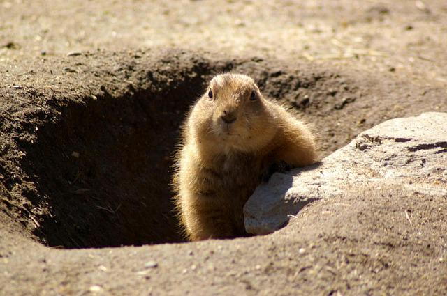 Free Photo: Groundhog, Rodent, Shadow