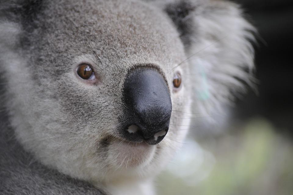 Koala, Nature, Animals, Paws, Australia, Puppy