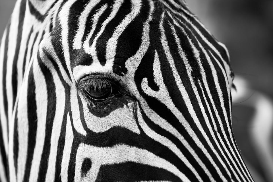 Zebra stripes black and white zoo animals