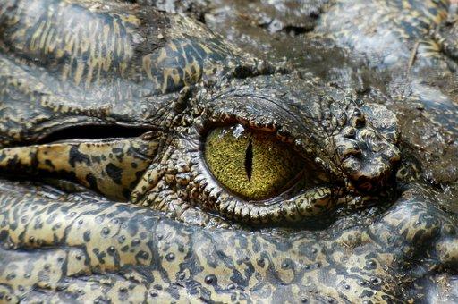 ワニ, 目, 動物, 自然, 爬虫類, オーストラリア