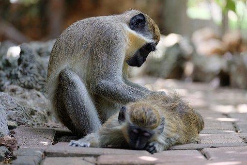 Mono, Cuídate, Animales, La Atención