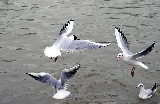 Silberne Möwe, Lachmöwe, Meer, Vögel