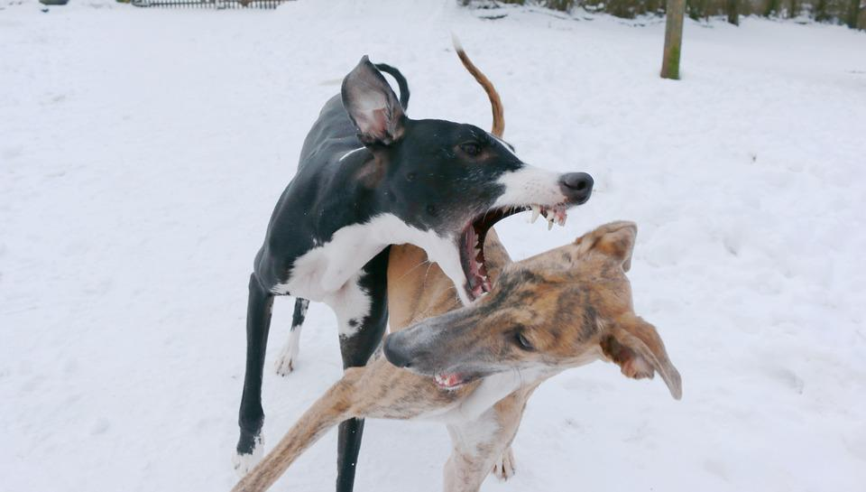 Free Photo Spanish Greyhound Dogs Puppies  Image
