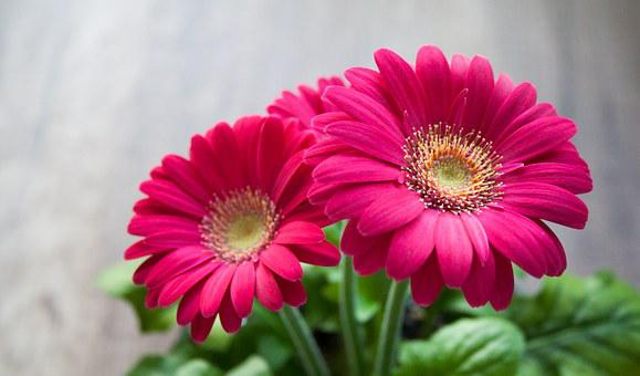 Kukka, Kevät, Kesällä, Gerbera, Kaunis