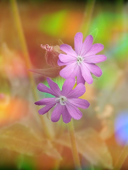 kostenloses foto lichtnelke bl te rosa pflanze kostenloses bild auf pixabay 633000. Black Bedroom Furniture Sets. Home Design Ideas