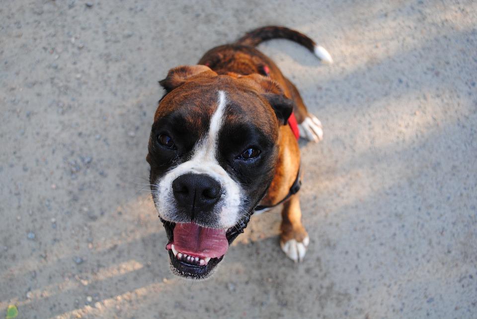 Perro, Boxer, Animales, Boxeador Alemán, Mascotas