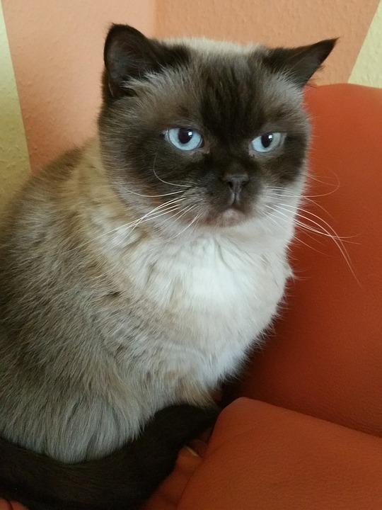 f649e2c09aa1 Γάτα Βρετανική Κοντότριχη - Δωρεάν φωτογραφία στο Pixabay