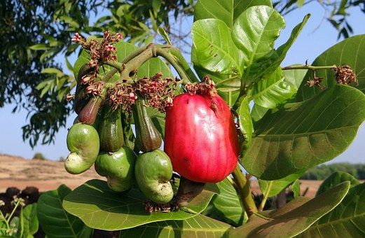 Cashew, Fruit, Ripe, Nut, Tree, Crop