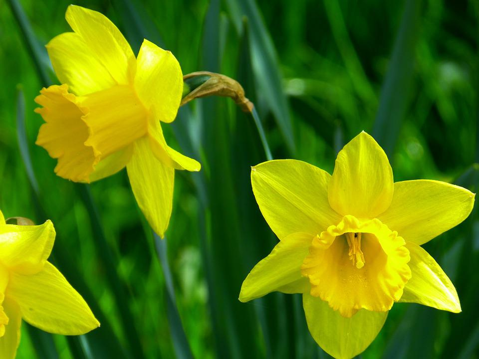 Daffodils, Blossom, Bloom, Flower, Yellow, Daffodil