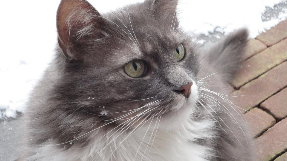 9e82a69d8312 Γάτες Αυτιά Κατοικίδιο Ζώο - Δωρεάν φωτογραφία στο Pixabay