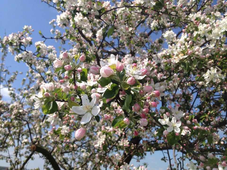 photo gratuite arbre fleurs pommier printemps image. Black Bedroom Furniture Sets. Home Design Ideas