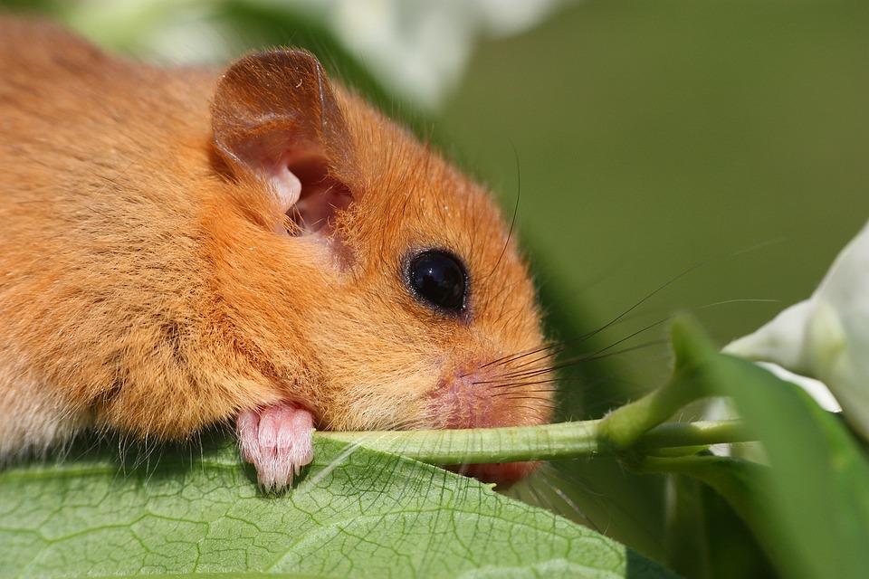 Le Loir Animal Branche Photo Gratuite Sur Pixabay