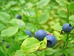 blueberries, growing