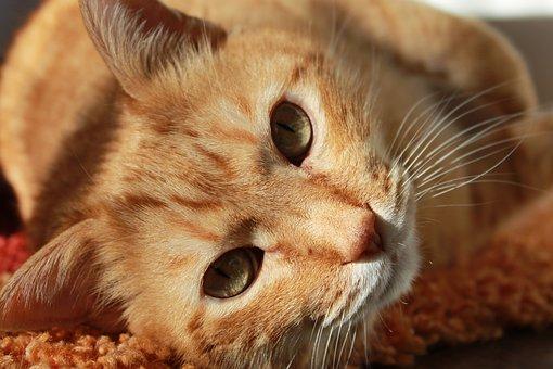 Katze, Tier, Haustiere, Katzen, Ingwer